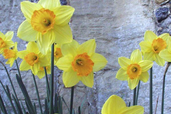 Daffodils in a Wiltshire garden